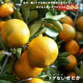 ■限定販売■【みかん苗木】 トゲなし系 せとか 2年生接ぎ木苗 ルートポーチ植え 果樹苗木 柑橘