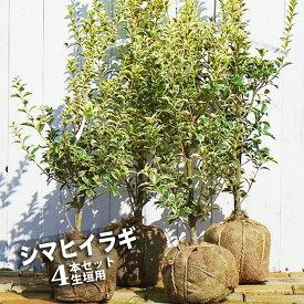 シマヒイラギ 根巻き苗 生垣用 4本セット 生垣 目隠し 低木 庭木 常緑樹