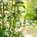 ■送料無料■ シマトネリコ 株立ち 大苗 鉢植えでも使える 極上 株立ち苗 【西濃運輸お届け】 【北海道、沖縄、離島不可】