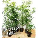 【生垣用セット】 シラカシ 生垣用 6本セット 生垣 目隠し 庭木 常緑樹