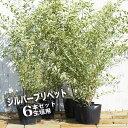 シルバープリペット 生垣用 6本セット 庭木 常緑樹 生垣 目隠し