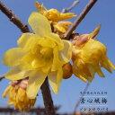 素心ロウバイ (ソシンロウバイ) 根巻き苗 庭木 落葉樹 低木