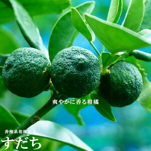 【すだち】 1年生 接ぎ木 苗木