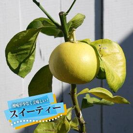 柑橘スイーティー1年生 接ぎ木 苗