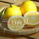 タネなし日向夏 ( ひゅうがなつ / ニューサマーオレンジ ) 1年生 接ぎ木 苗 種無し