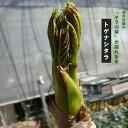 たらの木 トゲナシタラ 苗木 たらの芽の採れる木 【予約販売】2019年11〜12月頃発送予定