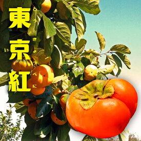 【 東京紅 (とうきょうべに) 】 完全甘柿 1年生 接ぎ木 苗木
