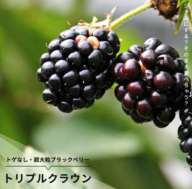 トゲなし ブラックベリー トリプルクラウン 鉢植え 果樹苗木 果樹苗