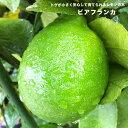 レモン 苗 【 トゲなし レモンの木 】 ビアフランカ 2年生接ぎ木苗