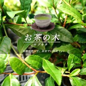 お茶の木 ヤブキタ茶 生垣 目隠し 低木 庭木 常緑樹