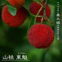 ■限定販売■山桃(ヤマモモ)東魁 (トウカイ ) メス2年生 接ぎ木 ロングスリット鉢苗