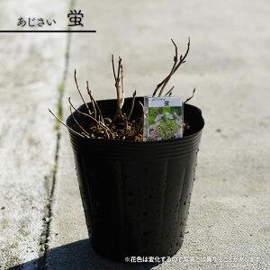 ヤマアジサイ 【蛍】 5号ポット苗