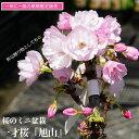 さくら盆栽 【一才桜 旭山】 花芽つき 盆栽鉢植え 【数量限定販売】