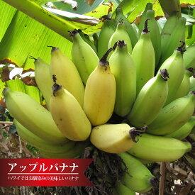 バナナの木 【アップルバナナ】 カット苗 石垣島から直送 代引不可・着日指定日不可