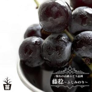 【藤稔】 黒ぶどう 1年生接木苗 ウィルスフリー