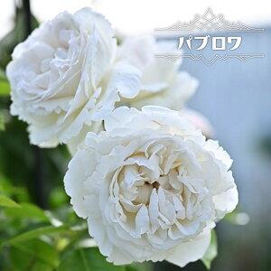 四季咲き半つるバラ 【パブロワ】 2年生大苗 PVP 【予約販売12〜翌1月頃入荷予定】