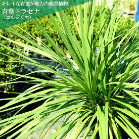 コルジリネ(ドラセナ) 青葉ドラセナ 地中ポット苗 低木 庭木 常緑樹