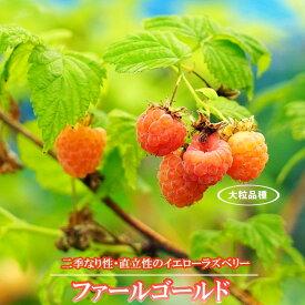 イエローラズベリー ファールゴールド ポット苗 果樹苗木 果樹苗 キイチゴ 苗