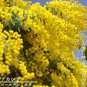 ゴールデンミモザ花の様子
