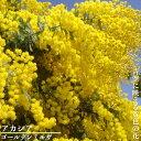 """アカシアの木 """"ゴールデンミモザ"""" ミモザアカシア 3号ポット苗 シンボルツリー 庭木 常緑樹(ギンヨウアカシア)"""