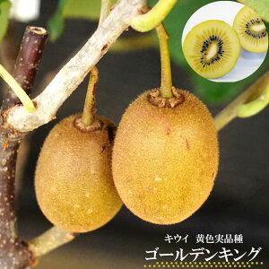 【ゴールデンキング (メス)】 ゴールドキウイ 1年生 接ぎ木 苗木