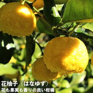 ゆず 苗木 花柚子 (ハナユズ) 2年生 接ぎ木 苗 柑橘 果樹 果樹苗木