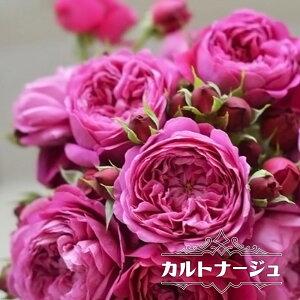 【バラ苗】 カルトナージュ 大苗 【河本バラ園】 四季咲き 赤紫 薔薇 バラ苗木
