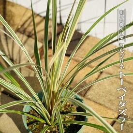 コルジリネ(ドラセナ) トーベイダズラー ポット苗 低木 庭木 常緑樹