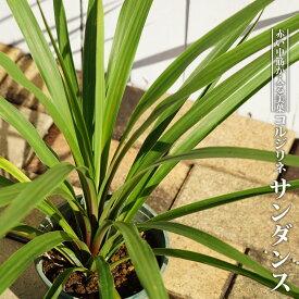 コルジリネ(ドラセナ) サンダンス ポット苗 低木 庭木 常緑樹