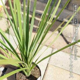 コルジリネ(ドラセナ) オーストラリス 5号ポット苗 低木 庭木 常緑樹