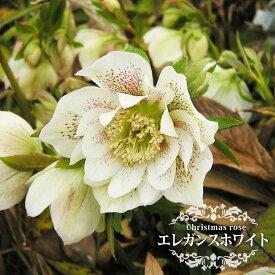 【エレガンスホワイト】 八重咲きクリスマスローズ 3号ポット 苗 【予約販売10月頃入荷予定】