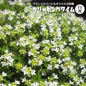 ハーブ 苗 白花クリーピングタイム ホワイト(這いずる性) 3号ポット苗