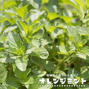 ハーブ 【オレンジミント】 3号ポット苗