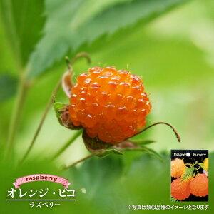 【オレンジピコ】 ラズベリー ポット苗