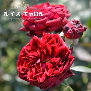 四季咲き半つるバラ 【ルイスキャロル】 2年生大苗 【予約販売12〜翌1月頃入荷予定】