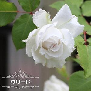 四季咲き半つるバラ 【クリード】 2年生大苗 【予約販売12〜翌1月頃入荷予定】