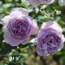 四季咲きバラ苗 【リラ】 2年生大苗 PVP 【予約販売12〜翌1月頃入荷予定】