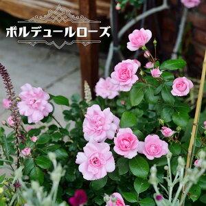 【バラ苗】 ボルデュールローズ (中輪 デルバール ) (Del) 国産苗 大苗 6号ポット 四季咲き ピンク色 バラ 苗 薔薇