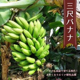 バナナ苗「三尺バナナ」