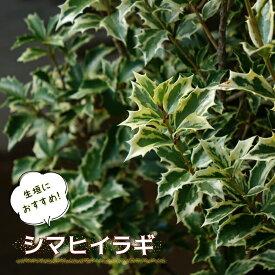 シマヒイラギ 根巻き苗 生垣 目隠し 低木 庭木 常緑樹