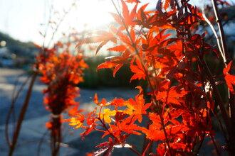 枫树山枫叶 (槭树科) 与树木落叶树符号树枫幼苗