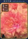 西洋芍薬(シャクヤク)エデンズパフューム ポット苗 宿根草 苗 多年草 耐寒性【予約販売】【2019年5月下旬以降お届け予定】