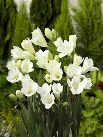 【球根】 フリージア アンジェルタ 一重 白色 白花 単色 【予約販売】9月上旬頃発送予定