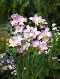 【球根】 フリージア ブルームーン 一重 薄紫色 単色(植え付け時期12月下旬まで) 【予約販売】9月上旬頃発送予定