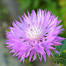 セントーレアプルケリマポット苗(矢車菊、ヤグルマギク)宿根草苗多年草耐寒性日陰