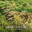 【有機種子】 古代小麦/スペルト小麦 Lサイズ 500g 種蒔時期 10月中旬〜12月初旬
