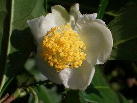 狭山かおりの花。椿の仲間なので花もツバキっぽいですね