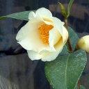 椿 (ツバキ) 初黄 (ショコウ) 接木 白鉢苗 開花 12〜3月