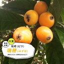 【ビワ苗木】 瑞穂 ( みずほ ) 2年生接ぎ木 ロングスリット鉢苗 果樹苗木 枇杷