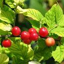赤実 ゆすらうめ 2年生 ロングスリット鉢苗 ■限定販売■